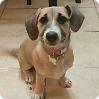 Adopt A Pet :: Zoey - Bellflower, CA