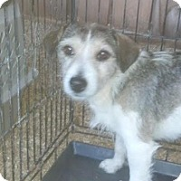 Jack Russell Terrier Mix Dog for adoption in Columbia, Tennessee - Desi