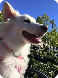 Shepherd (Unknown Type)/Spitz (Unknown Type, Medium) Mix Dog for adoption in san jose, California - Tommy