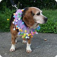 Adopt A Pet :: Sweety George - Waldorf, MD