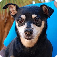Miniature Pinscher Mix Dog for adoption in Las Vegas, Nevada - Landon