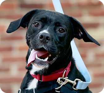 Boxer/Retriever (Unknown Type) Mix Dog for adoption in Kettering, Ohio - Summer