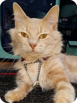 Domestic Longhair Cat for adoption in Voorhees, New Jersey - Barry-PetValu Somerdale