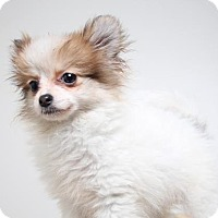 Pomeranian Puppy for adoption in Edina, Minnesota - Thumper D161518: PENDING ADOPTION