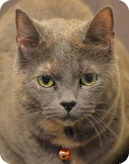 Domestic Shorthair Cat for adoption in Manchester, Connecticut - Li Li