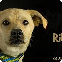 Adopt A Pet :: Riley - Kirkland, QC