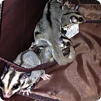 Adopt A Pet :: Elsa (bonded to Olaf) - Phoenix, AZ