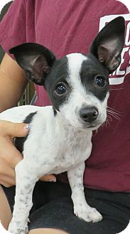Chihuahua/Terrier (Unknown Type, Small) Mix Puppy for adoption in Studio City, California - Jack