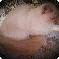 Adopt A Pet :: Felicity - Fairborn, OH