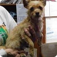 Yorkie, Yorkshire Terrier Mix Dog for adoption in Alpharetta, Georgia - Austina