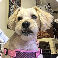Cockapoo Dog for adoption in Clarksville, Tennessee - Trudy - PENDING!