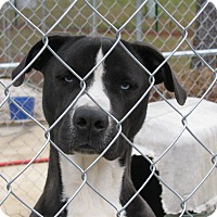 Adopt A Pet :: Baloo - Groton, MA