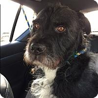 Schnauzer (Standard)/Terrier (Unknown Type, Medium) Mix Dog for adoption in Van Nuys, California - *URGENT* GEORGE