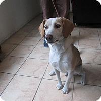 Adopt A Pet :: Eli - Monroe, CT