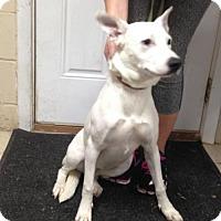 Adopt A Pet :: Darcy - Albemarle, NC