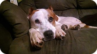 Boxer/Pointer Mix Dog for adoption in Edgewater, New Jersey - Skippy
