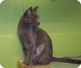 Domestic Shorthair Kitten for adoption in Dover, Ohio - Khloe