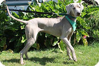 Weimaraner Dog for adoption in San Diego, California - Patrick