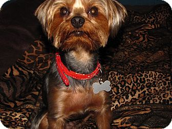 Yorkie, Yorkshire Terrier Dog for adoption in Hazard, Kentucky - Jack