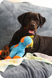 Rottweiler/Newfoundland Mix Dog for adoption in Marietta, Georgia - Samson