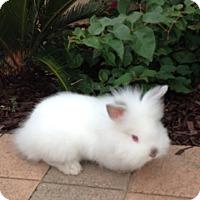 Lionhead Mix for adoption in Temecula, California - Harold
