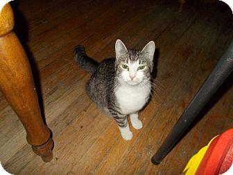 Domestic Shorthair Cat for adoption in New Bedford, Massachusetts - Rosie