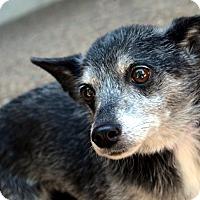 Adopt A Pet :: Henrietta - Bridgeton, MO