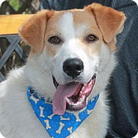 Great Pyrenees Mix Dog for adoption in Garfield Heights, Ohio - Presley-PENDING