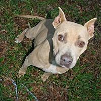 Pit Bull Terrier Dog for adoption in Hankamer, Texas - Shelby