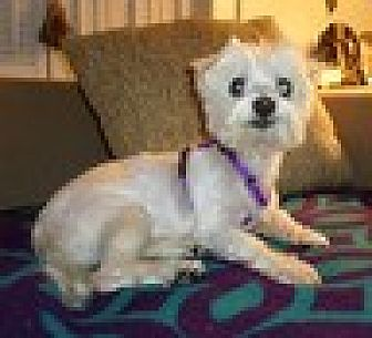 Maltese Dog for adoption in Chattanooga, Tennessee - SissyGirl (TN)