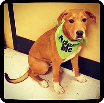 Labrador Retriever/Shepherd (Unknown Type) Mix Puppy for adoption in Grand Bay, Alabama - Archer