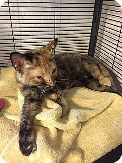 Domestic Shorthair Kitten for adoption in Hanna City, Illinois - Sushi- adoption pending