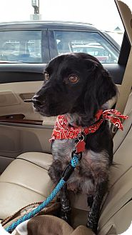 Brittany Dog for adoption in London, Ontario - Pending Adoption OH/Chester