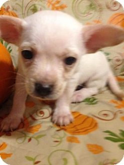 Terrier (Unknown Type, Medium)/Pomeranian Mix Puppy for adoption in Colton, California - !  BRUISER