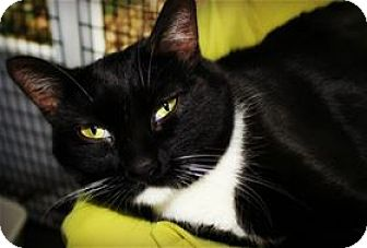 Domestic Shorthair Cat for adoption in Lincoln, California - Cher