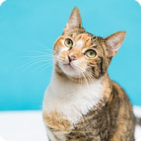 Domestic Shorthair Cat for adoption in Houston, Texas - Celestia