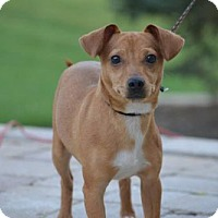 Adopt A Pet :: Bruiser- Adoption Pending - Fairfield, OH