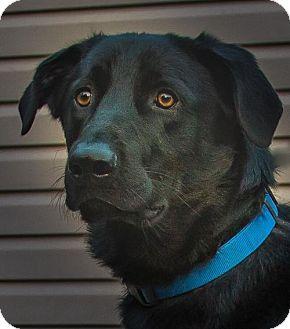 Retriever (Unknown Type)/Shepherd (Unknown Type) Mix Dog for adoption in Kansas City, Missouri - Baldric