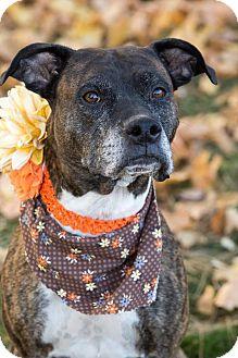Boxer/Terrier (Unknown Type, Medium) Mix Dog for adoption in Flint, Michigan - Helen