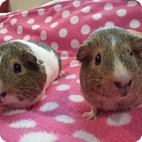Adopt A Pet :: Sugar and Spice - Harleysville, PA