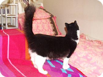 Domestic Mediumhair Cat for adoption in Scottsdale, Arizona - Miller-Ragdoll