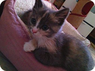 Domestic Shorthair Kitten for adoption in Horsham, Pennsylvania - Princess