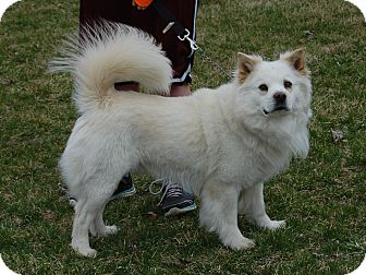 american eskimo chow dog mix