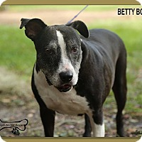 American Staffordshire Terrier/American Staffordshire Terrier Mix Dog for adoption in Sarasota, Florida - Betty Boop