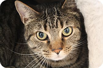 Domestic Shorthair Cat for adoption in Hartville, Wyoming - Cricket