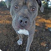 Adopt A Pet :: Adam-12 - Berkeley, CA