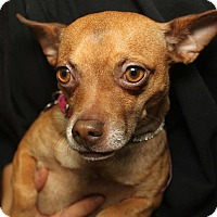 Chihuahua Mix Dog for adoption in Detroit, Michigan - Cinnamon-Pending!