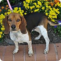 Adopt A Pet :: Blue - Atlanta, GA