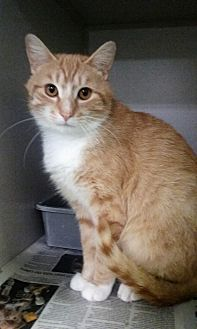 Domestic Shorthair Cat for adoption in Pottsville, Pennsylvania - Nautica