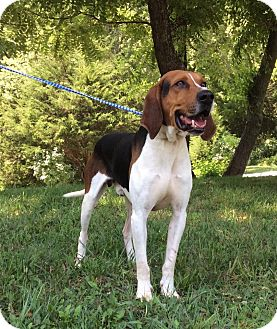 Coonhound Mix Dog for adoption in Atchison, Kansas - Admiral